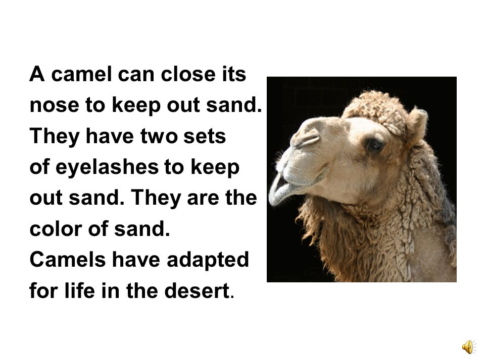 The camel is the largest desert animal. Camels store fat in their humps. They can go for months without water.