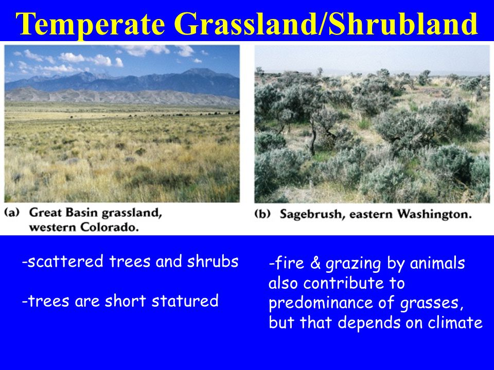 Temperate Grassland/Shrubland -scattered trees and shrubs -trees are short statured -fire & grazing by animals also contribute to predominance of grasses, but that depends on climate