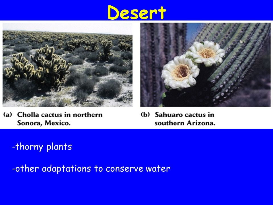 Desert -thorny plants -other adaptations to conserve water