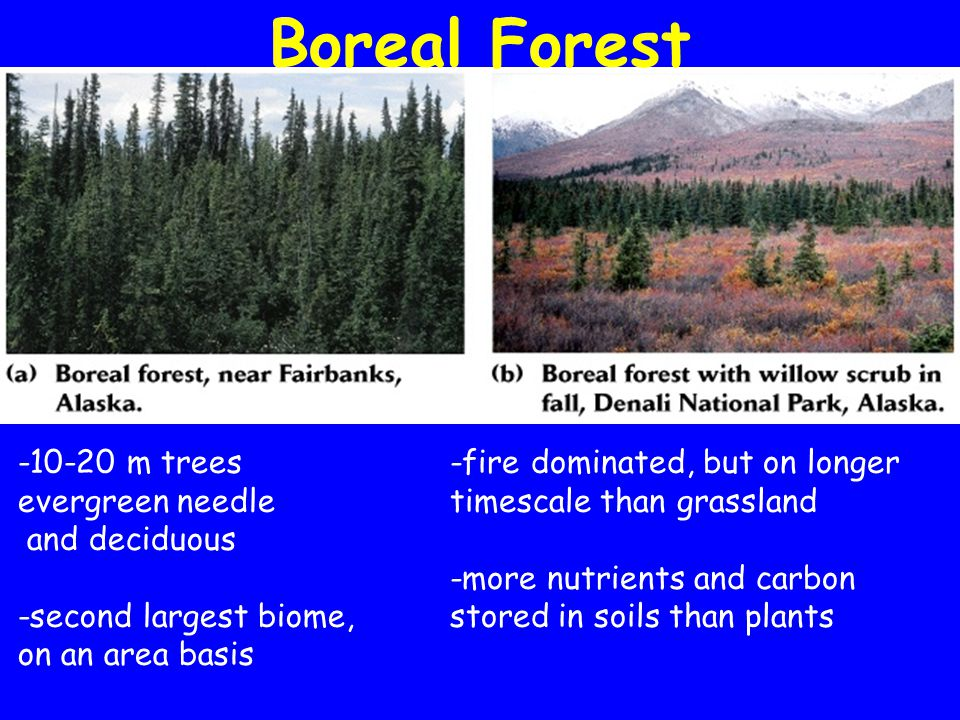 Boreal Forest -10-20 m trees evergreen needle and deciduous -second largest biome, on an area basis -fire dominated, but on longer timescale than grassland -more nutrients and carbon stored in soils than plants
