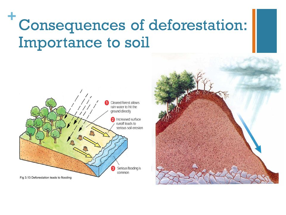 + Consequences of deforestation: Importance to soil