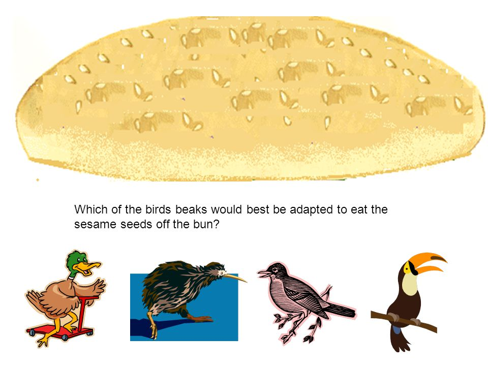 Which of the birds beaks would best be adapted to eat the sesame seeds off the bun?