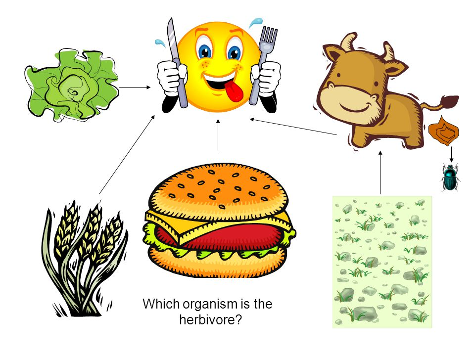 Which organism is the herbivore?