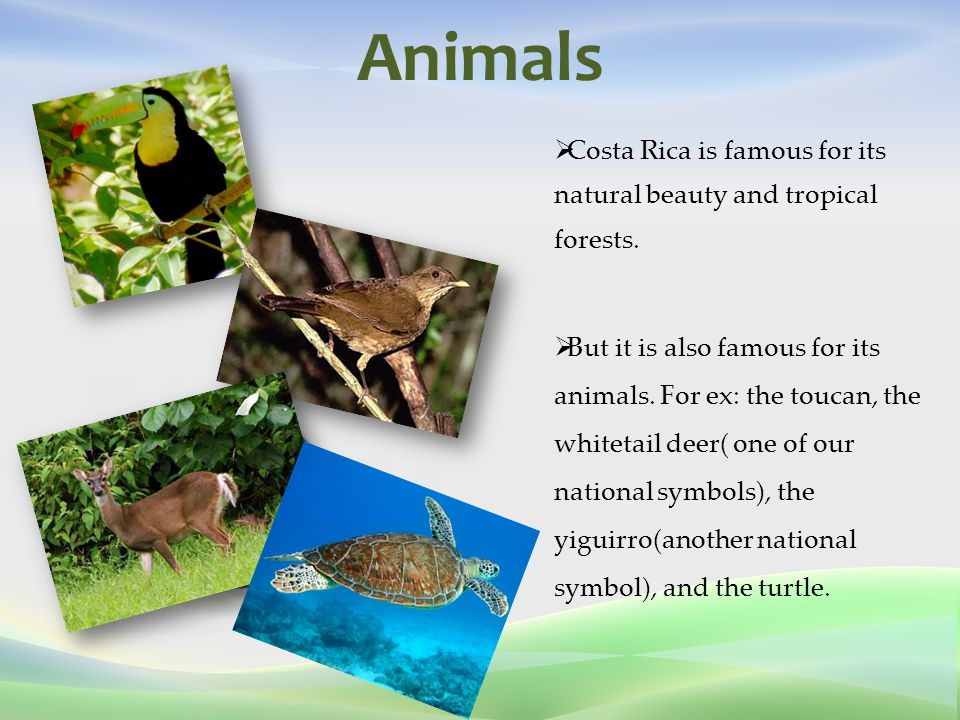 Animals  Costa Rica is famous for its natural beauty and tropical forests.