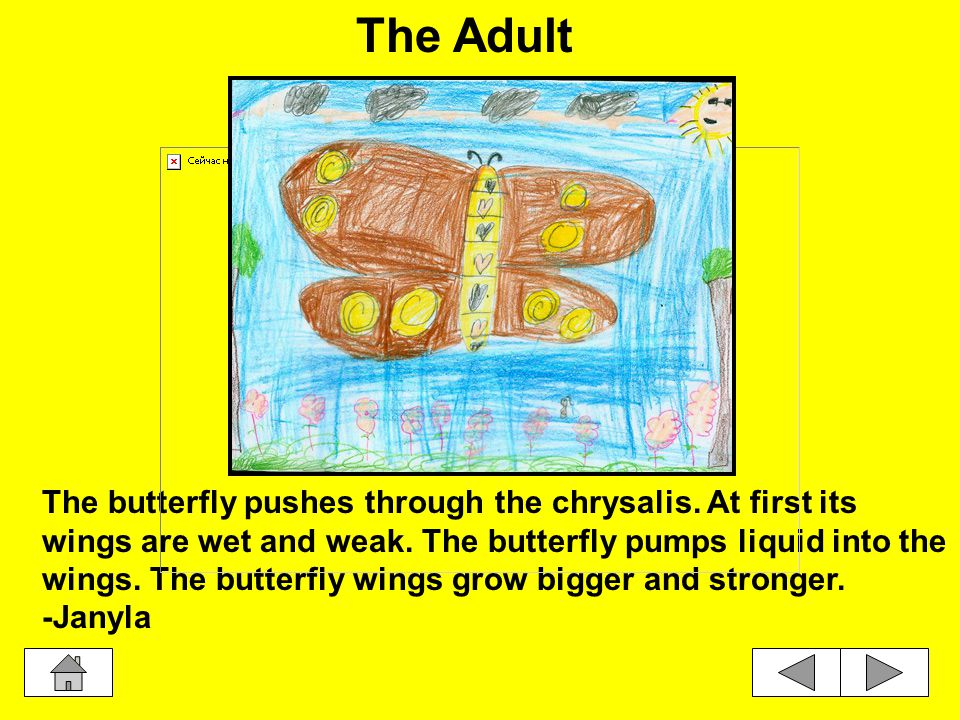 The pupa is surrounded by the chrysalis. A pupa grows into a butterfly.