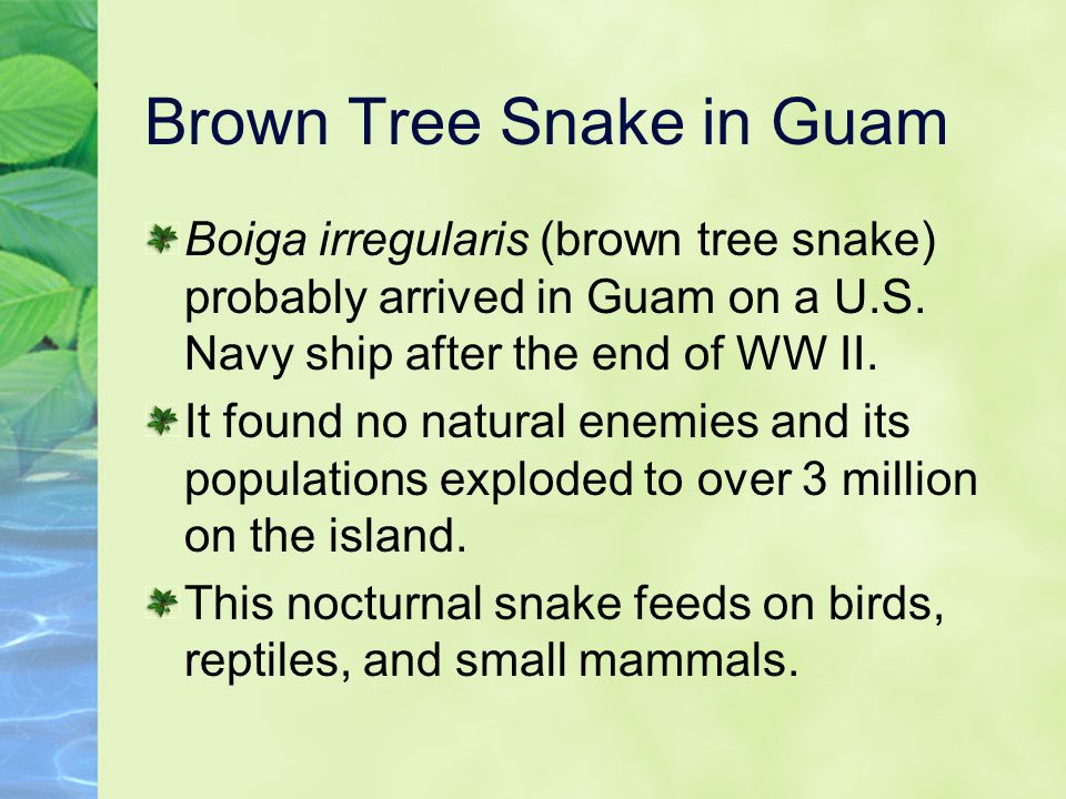 Brown Tree Snake in Guam Boiga irregularis (brown tree snake) probably arrived in Guam on a U.S.