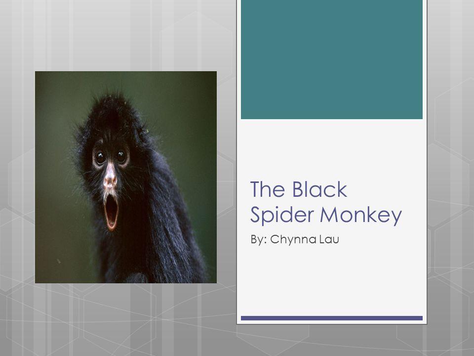 The Black Spider Monkey By: Chynna Lau