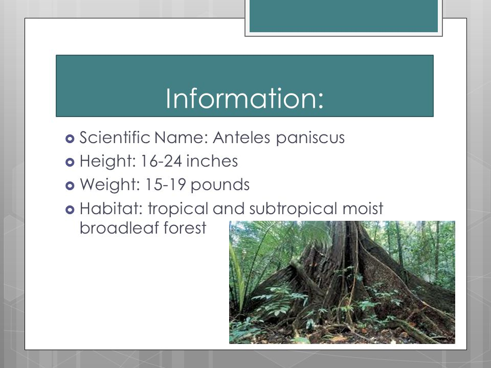 Information:  Scientific Name: Anteles paniscus  Height: 16-24 inches  Weight: 15-19 pounds  Habitat: tropical and subtropical moist broadleaf forest