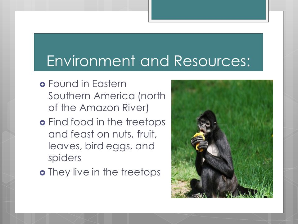 Environment and Resources:  Found in Eastern Southern America (north of the Amazon River)  Find food in the treetops and feast on nuts, fruit, leaves, bird eggs, and spiders  They live in the treetops