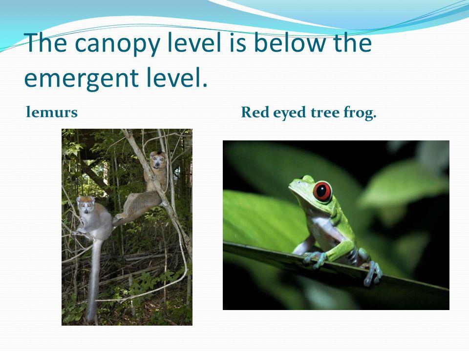 The understory is below the canopy level. jaguar parrots