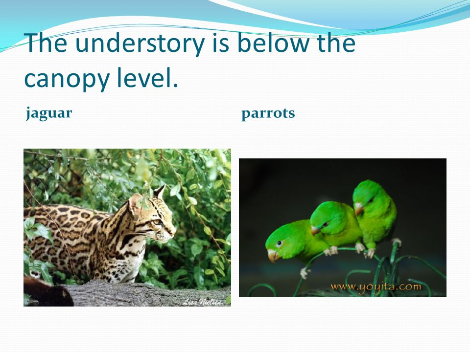 The understory is below the canopy level. jaguar parrots