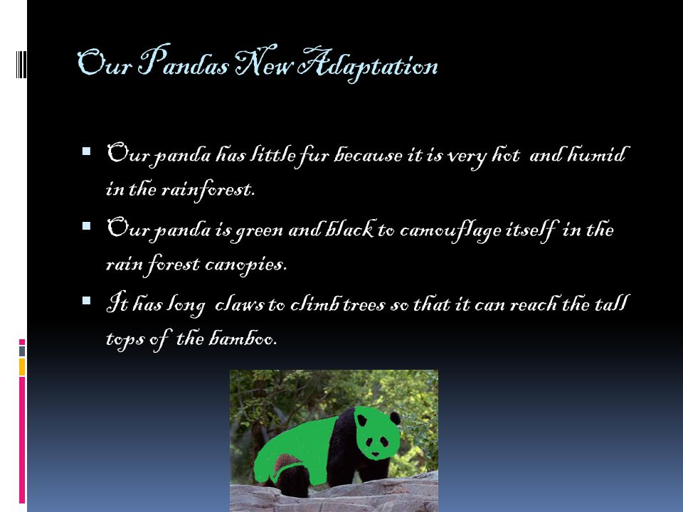 Our Pandas New Adaptation  Our panda has little fur because it is very hot and humid in the rainforest.