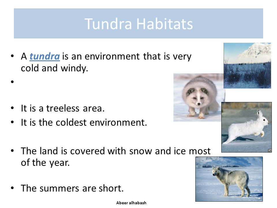 Tundra Habitats A tundra is an environment that is very cold and windy. It is a treeless area. It is the coldest environment. The land is covered with