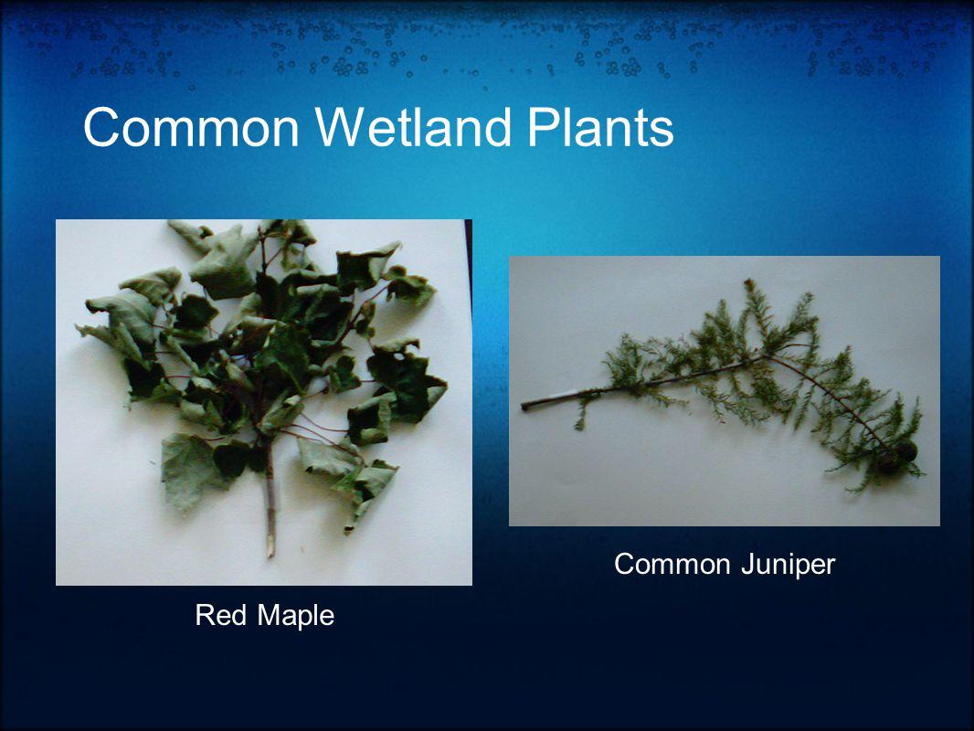 Common Wetland Plants Red Maple Common Juniper