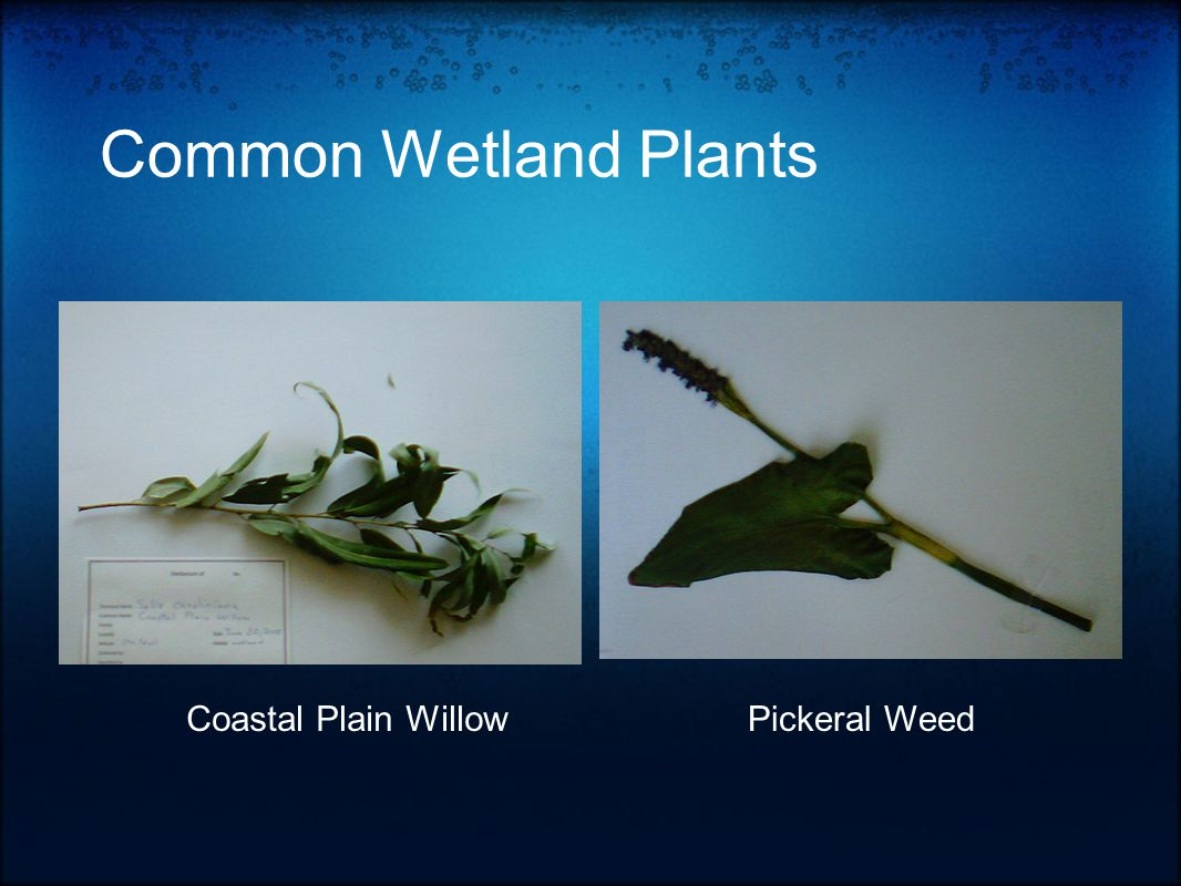 Common Wetland Plants Coastal Plain WillowPickeral Weed