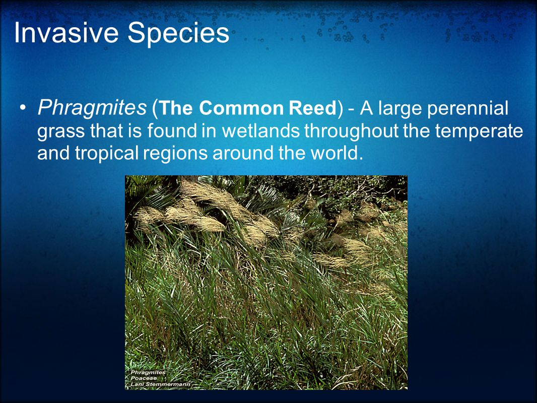 Invasive Species Phragmites ( The Common Reed) - A large perennial grass that is found in wetlands throughout the temperate and tropical regions around the world.