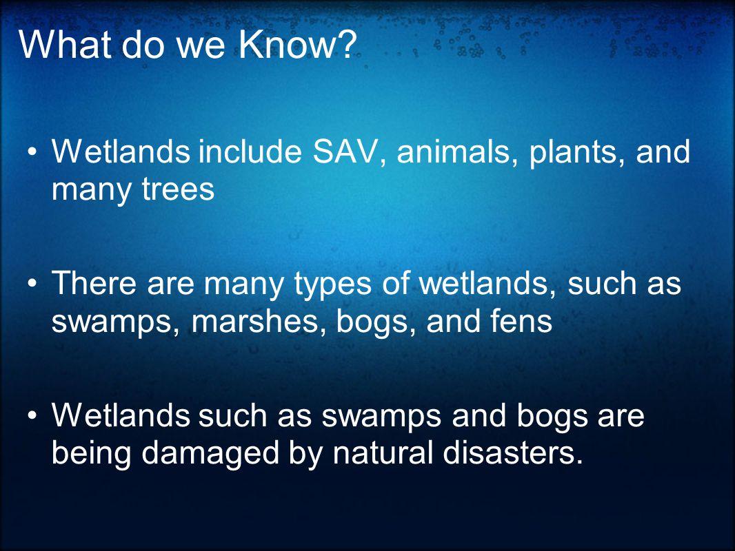 Invasive species Spartina alterniflora ( Smooth Cordgrass or Saltmarsh Cordgrass ) - A perennial deciduous grass which is found in intertidal wetlands.