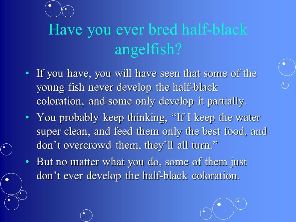 Have you ever bred half-black angelfish.