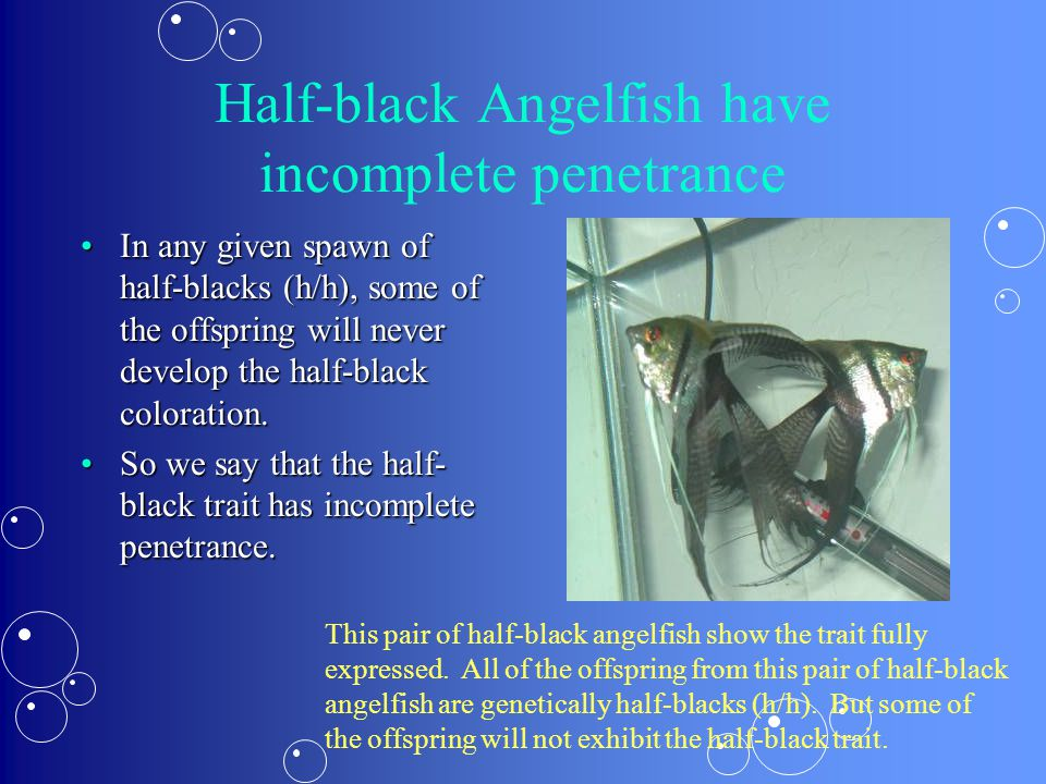 Half-black Angelfish have incomplete penetrance In any given spawn of half-blacks (h/h), some of the offspring will never develop the half-black coloration.In any given spawn of half-blacks (h/h), some of the offspring will never develop the half-black coloration.