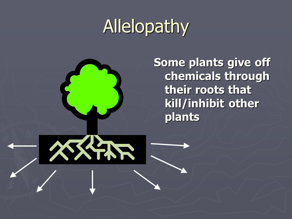Allelopathy Some plants give off chemicals through their roots that kill/inhibit other plants