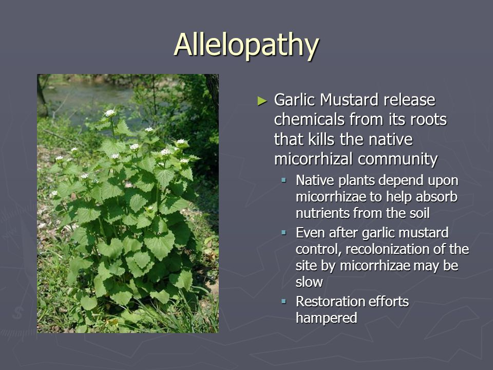 Allelopathy ► Garlic Mustard release chemicals from its roots that kills the native micorrhizal community  Native plants depend upon micorrhizae to help absorb nutrients from the soil  Even after garlic mustard control, recolonization of the site by micorrhizae may be slow  Restoration efforts hampered