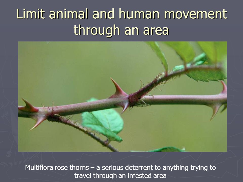 Limit animal and human movement through an area Multiflora rose thorns – a serious deterrent to anything trying to travel through an infested area