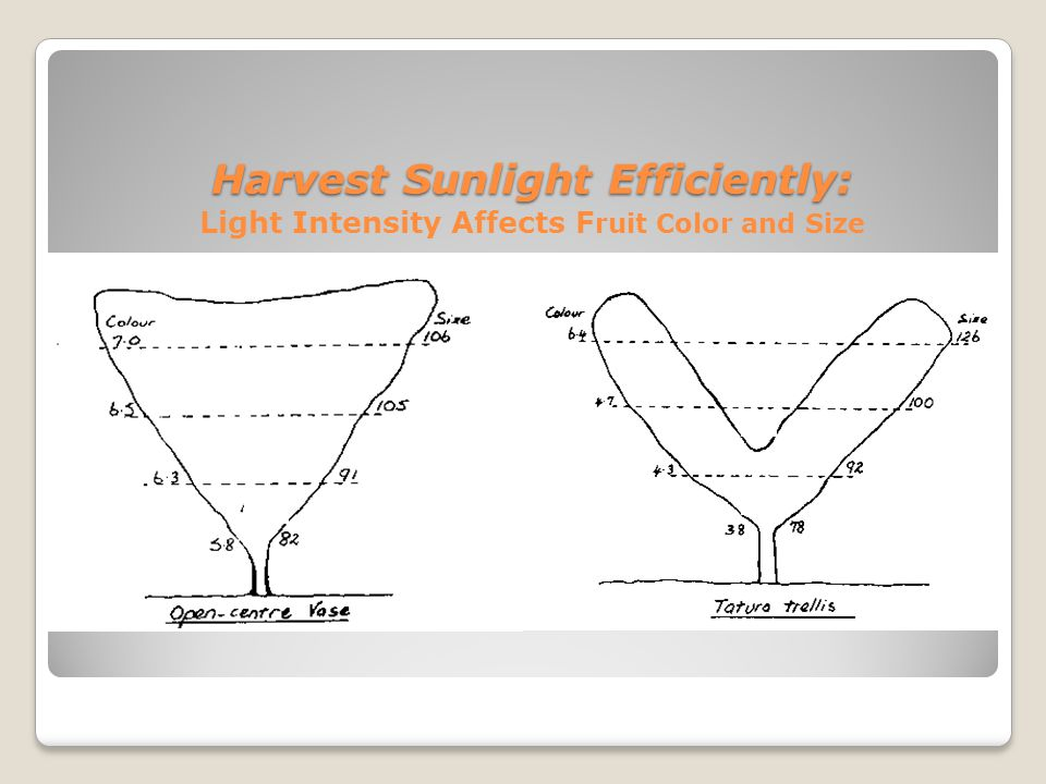 Harvest Sunlight Efficiently: Harvest Sunlight Efficiently: Light Intensity Affects F ruit Color and Size