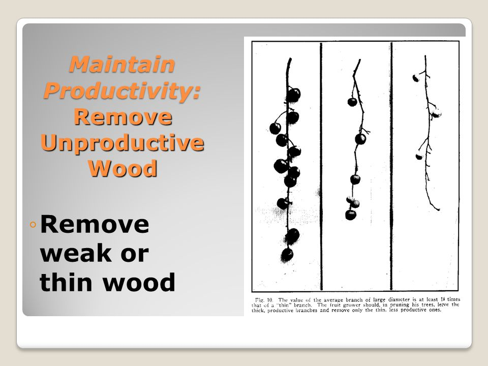 Maintain Productivity: Remove Unproductive Wood ◦Remove weak or thin wood