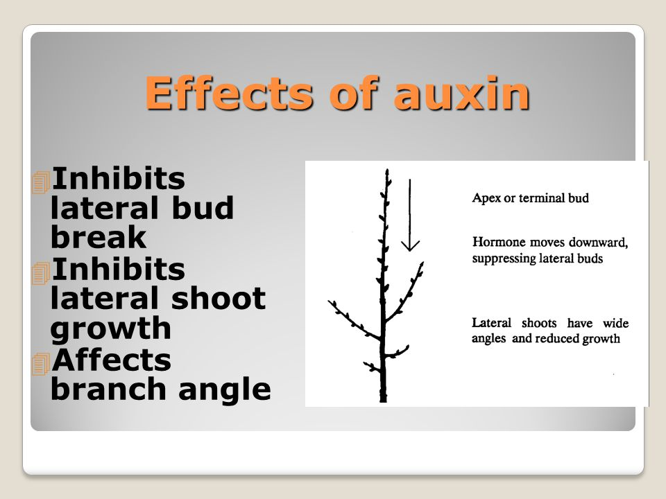 Effects of auxin 4 Inhibits lateral bud break 4 Inhibits lateral shoot growth 4 Affects branch angle