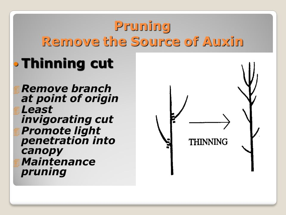 Pruning Remove the Source of Auxin Thinning cut Thinning cut 4 Remove branch at point of origin 4 Least invigorating cut 4 Promote light penetration into canopy 4 Maintenance pruning