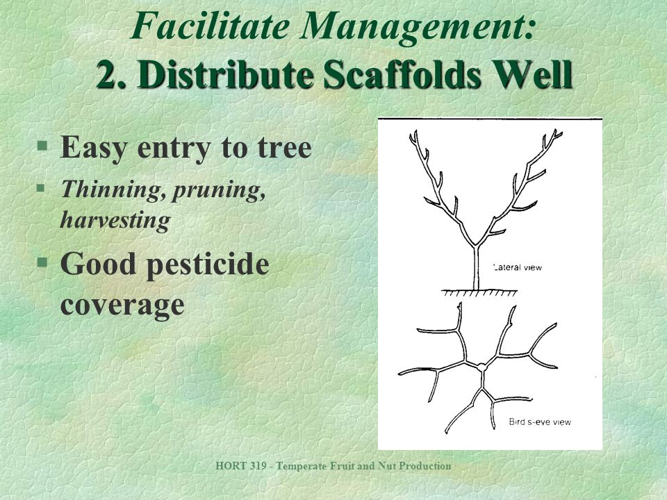 HORT 319 - Temperate Fruit and Nut Production 2. Distribute Scaffolds Well Facilitate Management: 2. Distribute Scaffolds Well §Easy entry to tree §Th