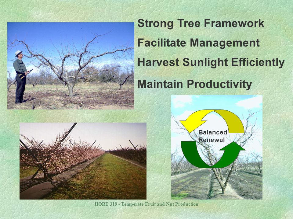 HORT 319 - Temperate Fruit and Nut Production Strong Tree Framework Balanced Renewal Facilitate Management Harvest Sunlight Efficiently Maintain Produ