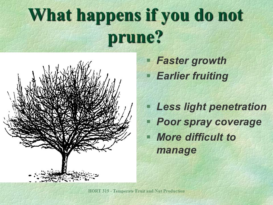 HORT 319 - Temperate Fruit and Nut Production Facilitate Management of the Tree and Crop §Optimize height of primary scaffolds l Allow space at tree base §Distribute scaffolds well l Do not over crowd scaffolds §Tree uniformity §Limit tree size with summer and winter pruning