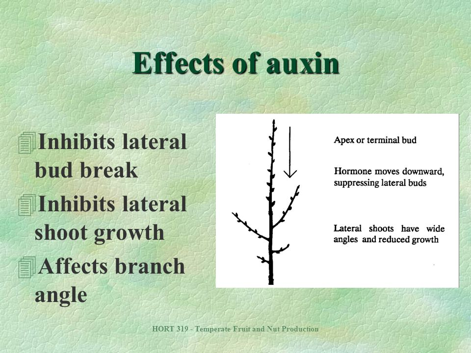 HORT 319 - Temperate Fruit and Nut Production Effects of auxin 4Inhibits lateral bud break 4Inhibits lateral shoot growth 4Affects branch angle