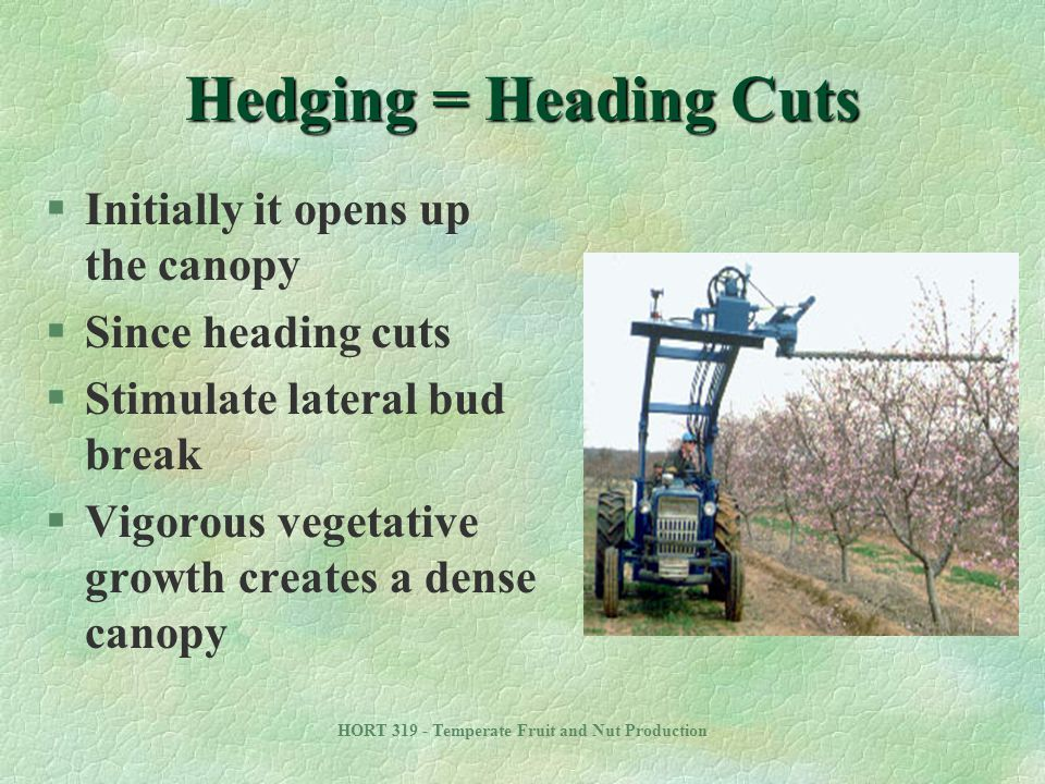 HORT 319 - Temperate Fruit and Nut Production Hedging = Heading Cuts §Initially it opens up the canopy §Since heading cuts §Stimulate lateral bud brea