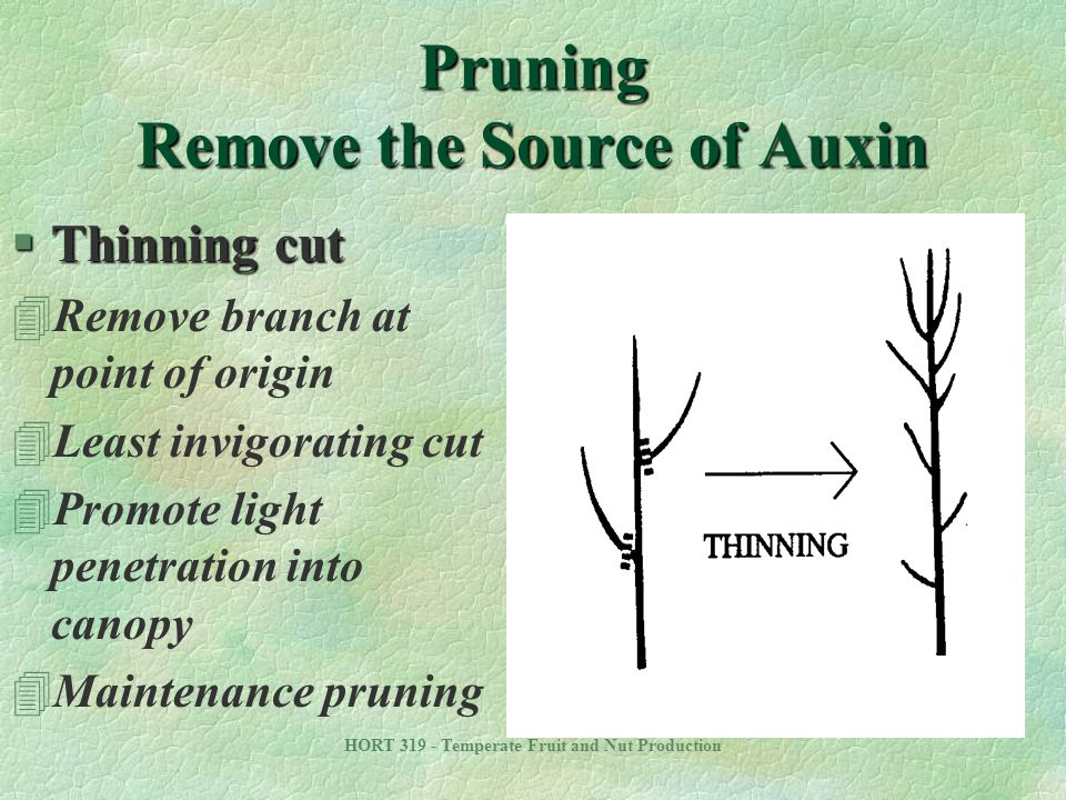 HORT 319 - Temperate Fruit and Nut Production Pruning Remove the Source of Auxin §Thinning cut 4Remove branch at point of origin 4Least invigorating c