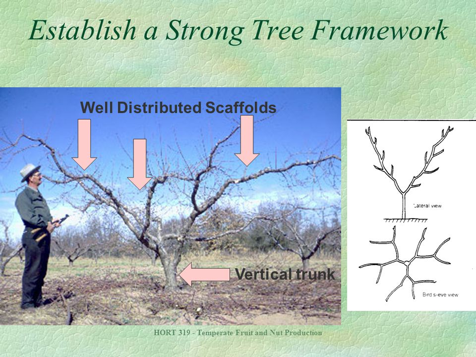 HORT 319 - Temperate Fruit and Nut Production Establish a Strong Tree Framework Vertical trunk Well Distributed Scaffolds