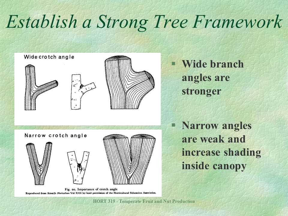 HORT 319 - Temperate Fruit and Nut Production Establish a Strong Tree Framework §Wide branch angles are stronger §Narrow angles are weak and increase