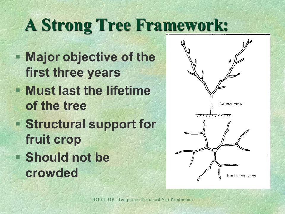 HORT 319 - Temperate Fruit and Nut Production A Strong Tree Framework: §Major objective of the first three years §Must last the lifetime of the tree §