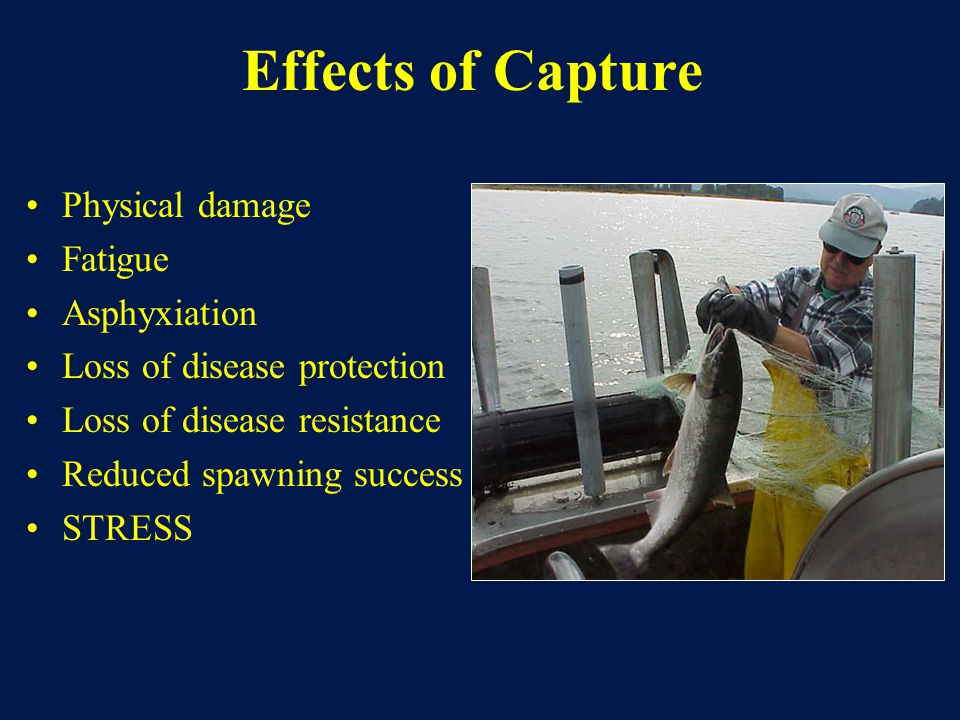 Effects of Capture Physical damage Fatigue Asphyxiation Loss of disease protection Loss of disease resistance Reduced spawning success STRESS