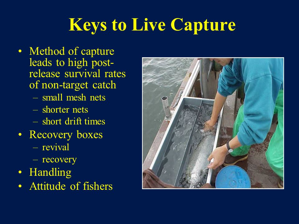 Keys to Live Capture Method of capture leads to high post- release survival rates of non-target catch –small mesh nets –shorter nets –short drift times Recovery boxes –revival –recovery Handling Attitude of fishers
