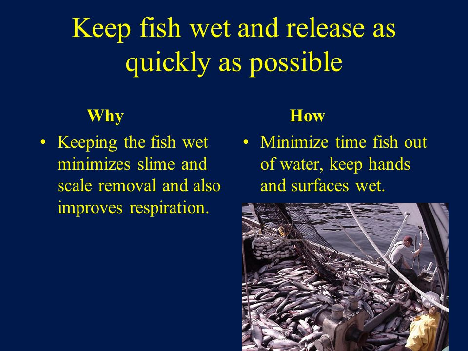 Keep fish wet and release as quickly as possible Why Keeping the fish wet minimizes slime and scale removal and also improves respiration.