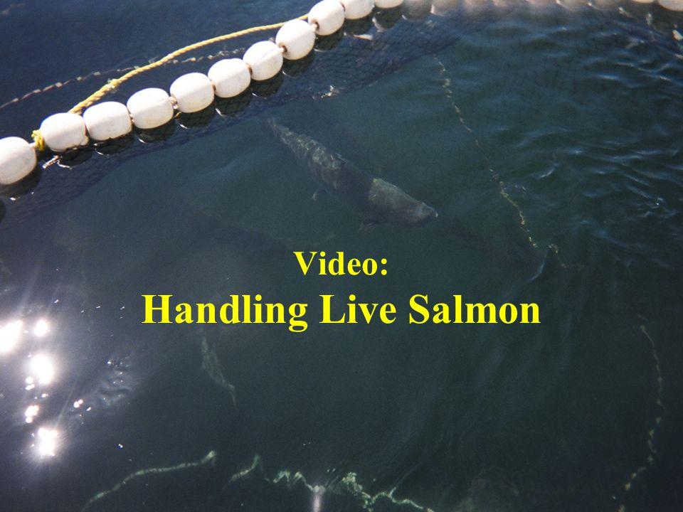 Video: Handling Live Salmon