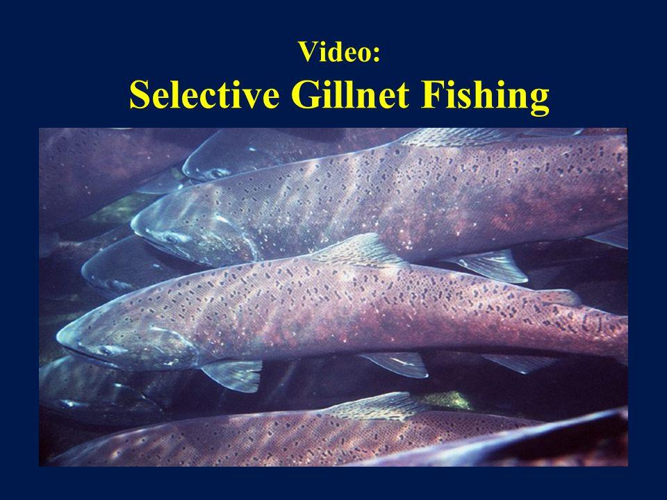 Video: Selective Gillnet Fishing