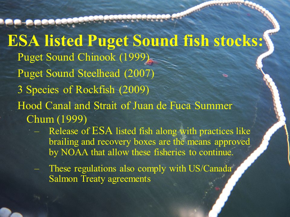 ESA listed Puget Sound fish stocks: Puget Sound Chinook (1999) Puget Sound Steelhead (2007) 3 Species of Rockfish (2009) Hood Canal and Strait of Juan de Fuca Summer Chum (1999) –Release of ESA listed fish along with practices like brailing and recovery boxes are the means approved by NOAA that allow these fisheries to continue.