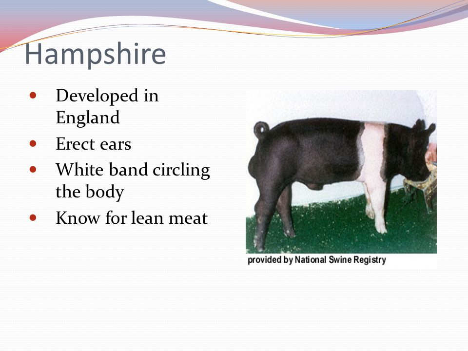 Hampshire Developed in England Erect ears White band circling the body Know for lean meat