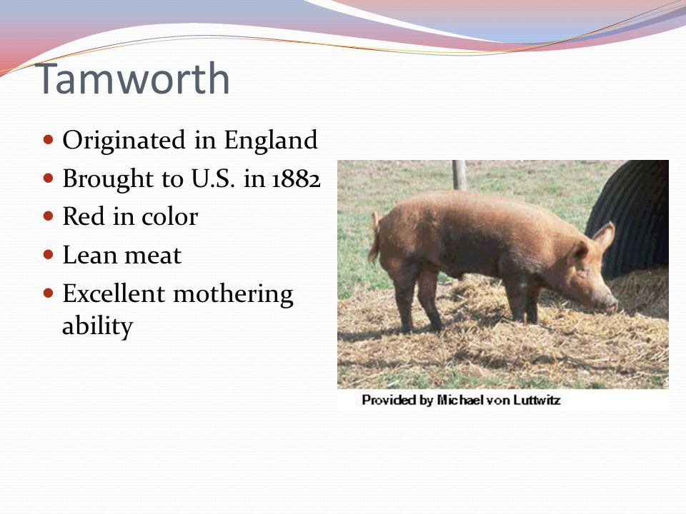 Tamworth Originated in England Brought to U.S. in 1882 Red in color Lean meat Excellent mothering ability