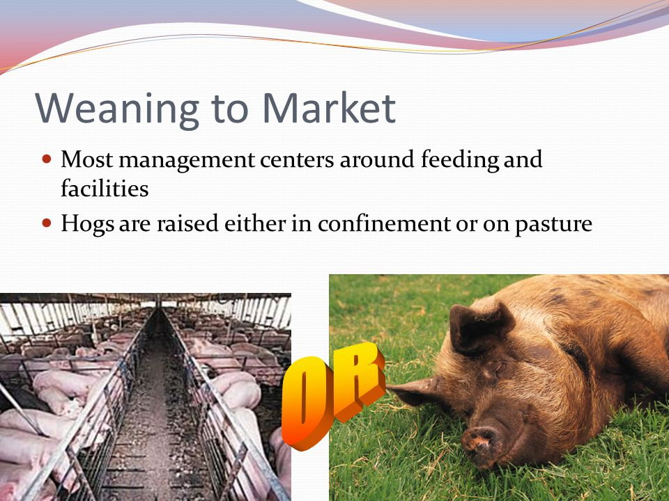 Weaning to Market Most management centers around feeding and facilities Hogs are raised either in confinement or on pasture