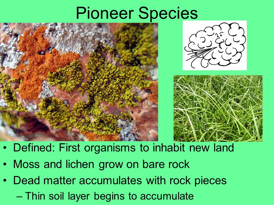 Pioneer Species Defined: First organisms to inhabit new land Moss and lichen grow on bare rock Dead matter accumulates with rock pieces –Thin soil layer begins to accumulate