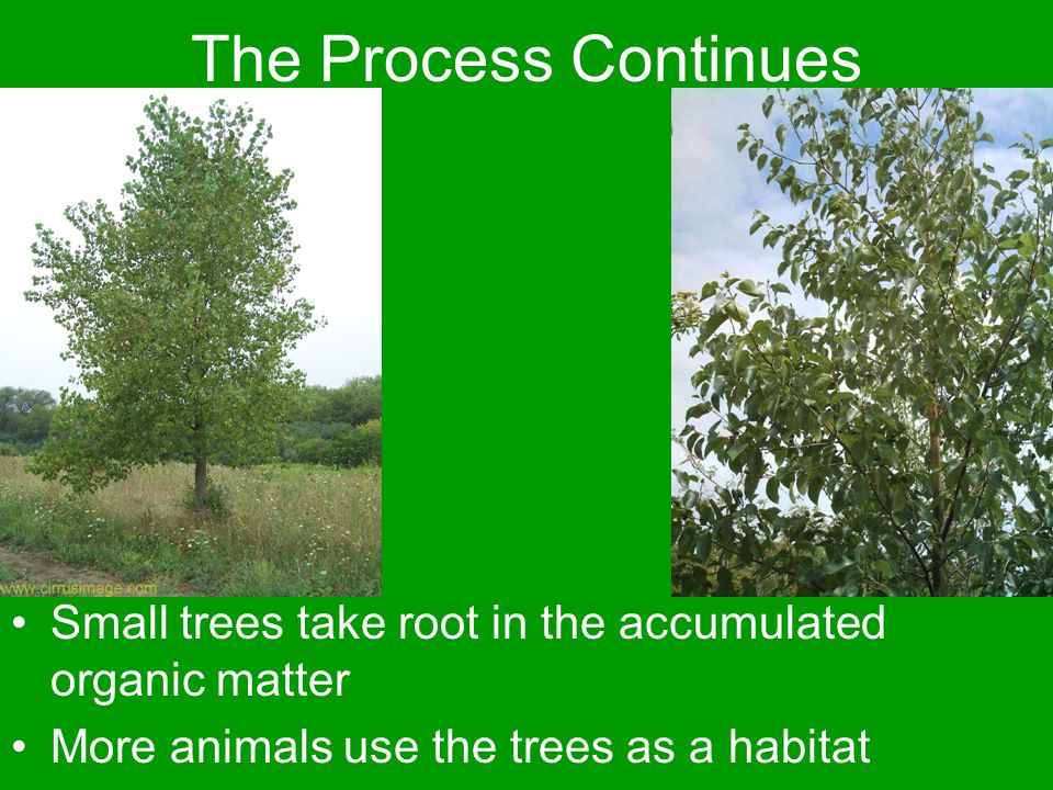 The Process Continues Small trees take root in the accumulated organic matter More animals use the trees as a habitat